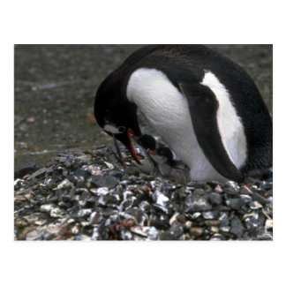 Gentoo Penguin - Adult With Small Chicks In Nest Postcards