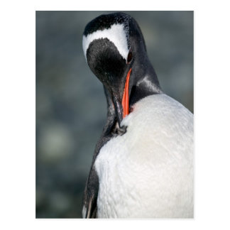 Gentoo Penguin in Neko Harbor Antarctica Postcard
