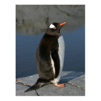 Gentoo Penguin Postcard