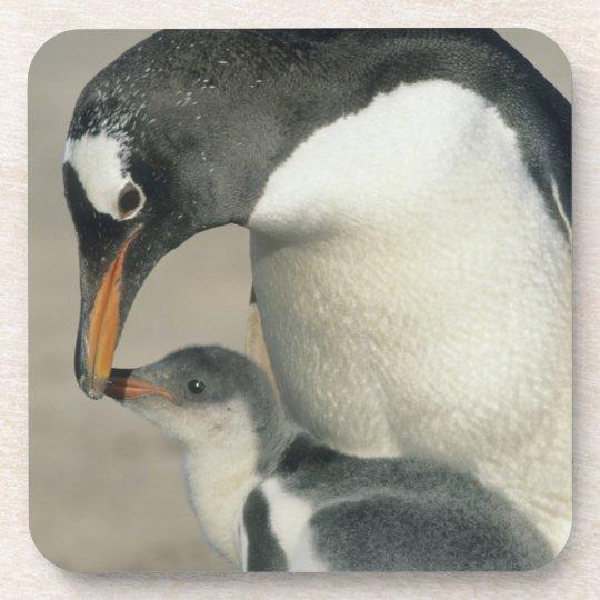 Gentoo Penguin, (Pygoscelis papua), adult Beverage Coaster