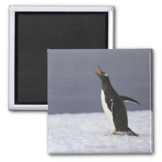 Gentoo penguin (Pygoscelis papua) adult bird Magnet