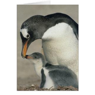Gentoo Penguin, (Pygoscelis papua), adult Card
