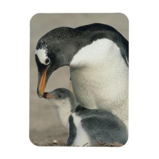Gentoo Penguin, (Pygoscelis papua), adult Magnet