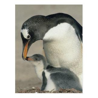 Gentoo Penguin, (Pygoscelis papua), adult Postcard