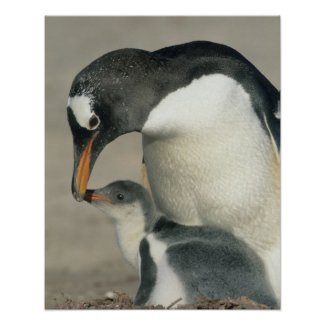 Gentoo Penguin, (Pygoscelis papua), adult Poster