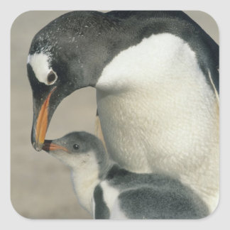 Gentoo Penguin, (Pygoscelis papua), adult Square Sticker
