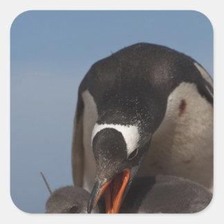 Gentoo Penguin (Pygoscelis papua) and chick 2 Square Sticker