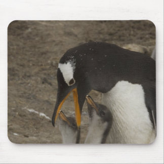 Gentoo Penguin (Pygoscelis papua) and chicks. 2 Mouse Pad