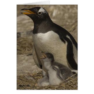 Gentoo Penguin (Pygoscelis papua) and chicks. Card