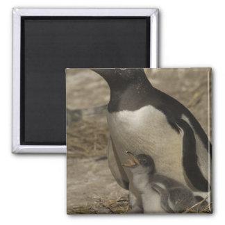 Gentoo Penguin (Pygoscelis papua) and chicks. Fridge Magnet