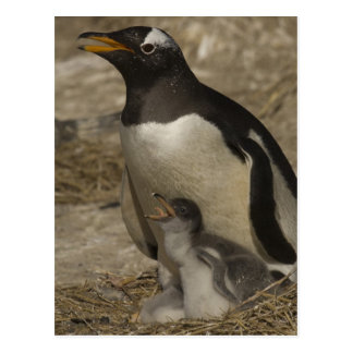 Gentoo Penguin (Pygoscelis papua) and chicks. Postcard