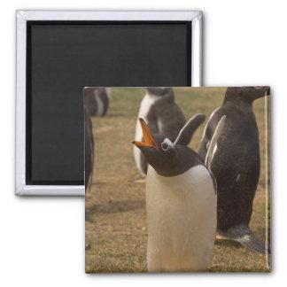 gentoo penguin, Pygoscelis papua, calling, 2 Inch Square Magnet