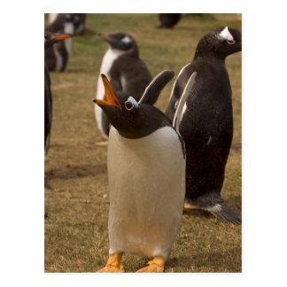 gentoo penguin, Pygoscelis papua, calling, Postcard
