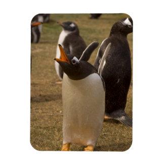 gentoo penguin, Pygoscelis papua, calling, Rectangular Photo Magnet