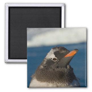 gentoo penguin, Pygoscelis Papua, chick along Magnet