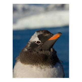 gentoo penguin, Pygoscelis Papua, chick along Postcard