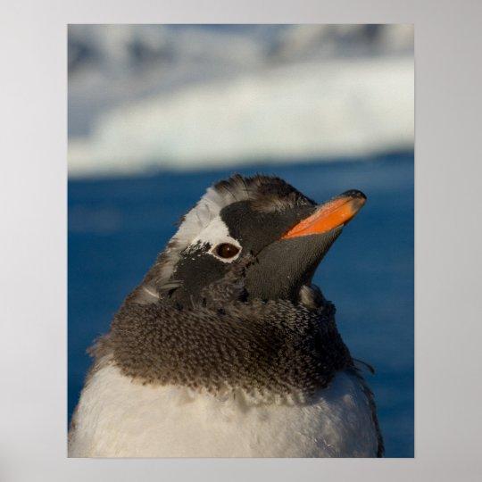 gentoo penguin, Pygoscelis Papua, chick along Poster