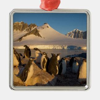 gentoo penguin, Pygoscelis Papua, colony along Metal Ornament