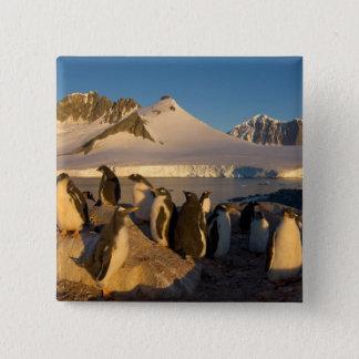 gentoo penguin, Pygoscelis Papua, colony along Pinback Button