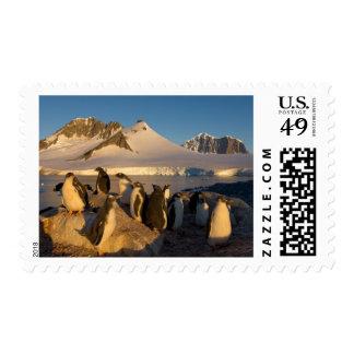 gentoo penguin Pygoscelis Papua colony along Postage Stamp