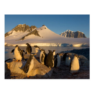 gentoo penguin, Pygoscelis Papua, colony along Postcard