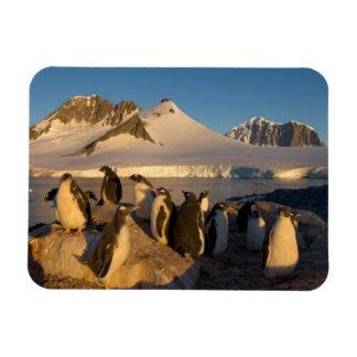 gentoo penguin, Pygoscelis Papua, colony along Rectangular Photo Magnet