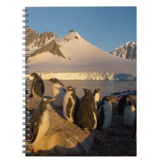 gentoo penguin, Pygoscelis Papua, colony along Spiral Notebook