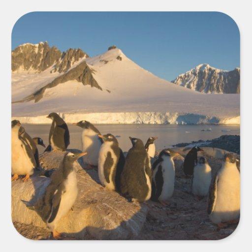 gentoo penguin, Pygoscelis Papua, colony along Square Stickers