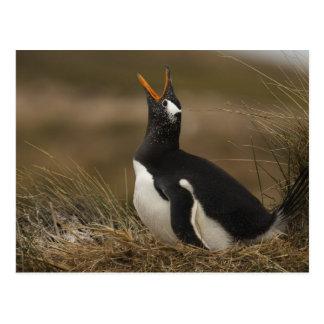 Gentoo Penguin (Pygoscelis papua) colony on the Postcard