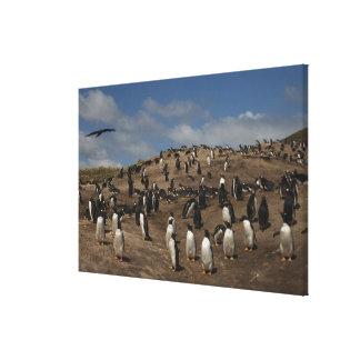 Gentoo Penguin (Pygoscelis papua) colony on West Canvas Print