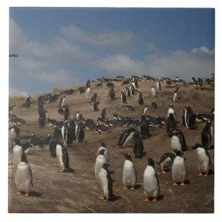 Gentoo Penguin (Pygoscelis papua) colony on West Ceramic Tile