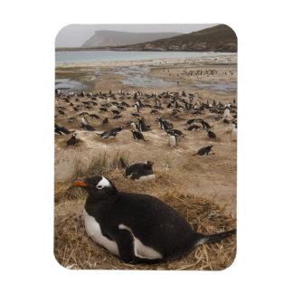 Gentoo Penguin (Pygoscelis papua) colony, West 2 Magnet