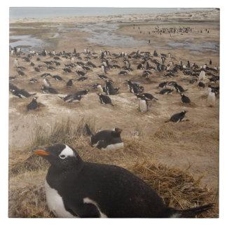 Gentoo Penguin (Pygoscelis papua) colony, West 2 Tile