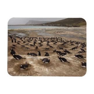 Gentoo Penguin (Pygoscelis papua) colony, West Magnet