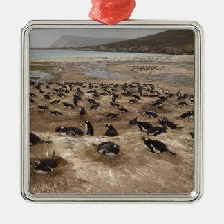 Gentoo Penguin (Pygoscelis papua) colony, West Ornament