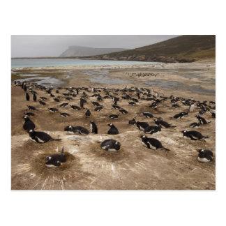 Gentoo Penguin (Pygoscelis papua) colony, West Postcard