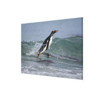 Gentoo Penguin Pygoscelis papua) coming in on Canvas Print
