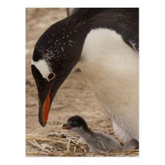 Gentoo Penguin (Pygoscelis papua) feeding a Postcard