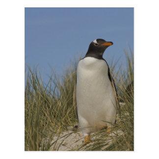 Gentoo Penguin (Pygoscelis papua), Keppel Postcard