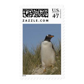 Gentoo Penguin (Pygoscelis papua), Keppel Stamp