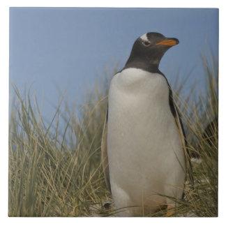 Gentoo Penguin (Pygoscelis papua), Keppel Tile