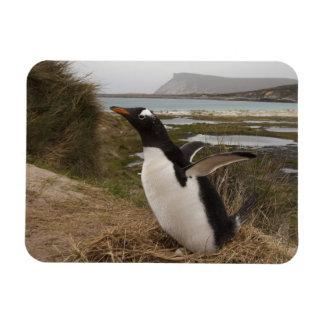 Gentoo Penguin (Pygoscelis papua) on a nest, Magnet
