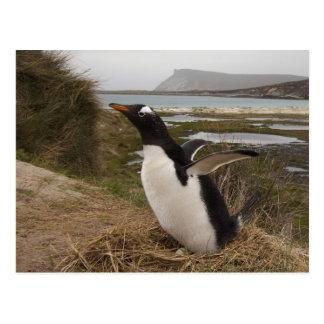 Gentoo Penguin (Pygoscelis papua) on a nest, Postcard
