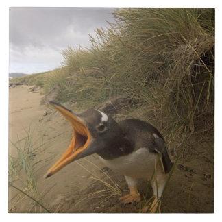 gentoo penguin, Pygoscelis papua, on Beaver Tile