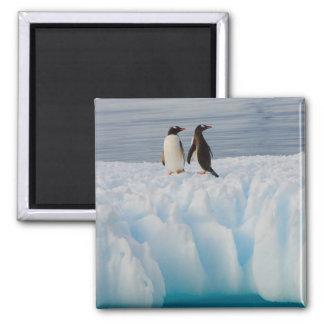 gentoo penguin, Pygoscelis Papua, on glacial ice Magnet