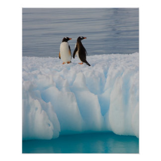 gentoo penguin, Pygoscelis Papua, on glacial ice Poster