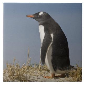 Gentoo Penguin (Pygoscelis papua) on Keppel Ceramic Tile