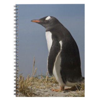 Gentoo Penguin (Pygoscelis papua) on Keppel Notebook