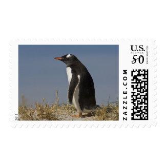 Gentoo Penguin (Pygoscelis papua) on Keppel Postage