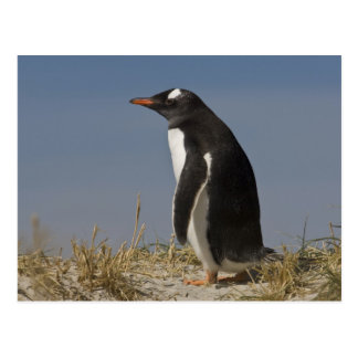 Gentoo Penguin (Pygoscelis papua) on Keppel Postcard